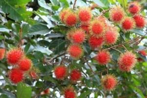 vietnam discovery, vietnam tour, vietnam tourism, vietnam travel, vietnamese coconut, vietnamese fruits, rambutan, tropical fruit
