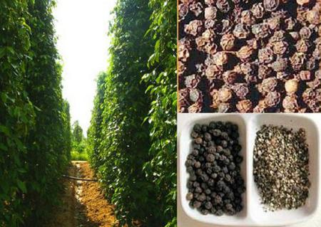 Phu Quoc black peppers