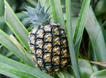 Vietnamese pineapple