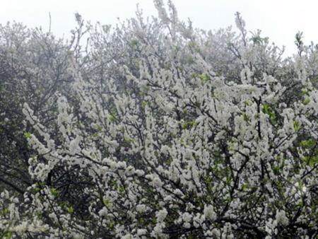 White plum flower in Moc Chau – Son La province