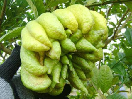 The Vietnamese Buddha's hand fruit
