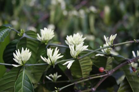 The white color of coffee flowers