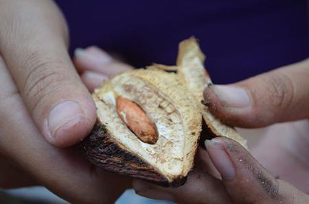 Savoring tropical almond's seed on Con Dao island