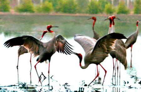 Sarus Crane - Tram Chim national park - Vietnam
