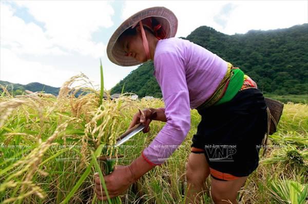 Muong ethnic rice
